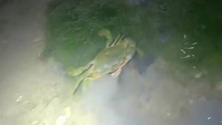 半夜撞见螃蟹群!一斤能卖百来块,小伙带着桶追着捡!