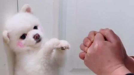 小博美学着主人鞠躬说谢谢,越看越像个小孩,太萌了