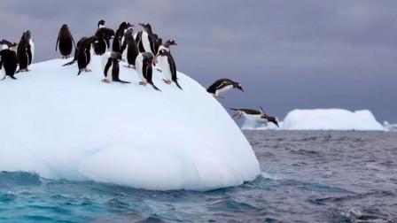 大量企鹅流离失所,大自然规律被破坏了?这或许是大自然在重组