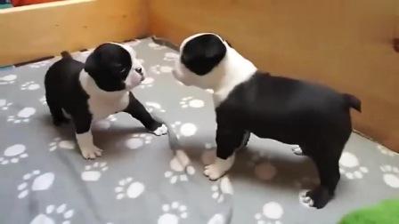 两只小奶狗在打架,狗妈妈过来后,小狗狗的反应太可爱了!