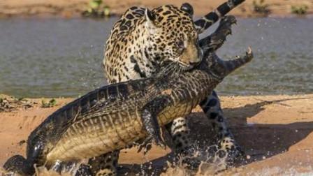 """""""全能猎人""""美洲豹能捕杀鳄鱼吗?就连老虎,都不敢相提并论"""
