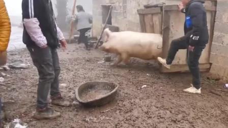云南农村办酒,跟猪圈里的二师兄玩起捉迷藏,太搞笑了