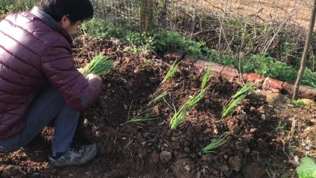 香葱种植方法,方法简单看了你也会种