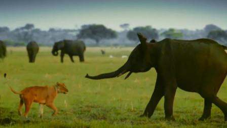 狮子猎杀小象,不想3吨大象妈妈发火了,这回狮子倒霉了