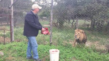 男子拿生肉喂食雄狮,可雄狮注意力全在男子身上,这是怎么回事?