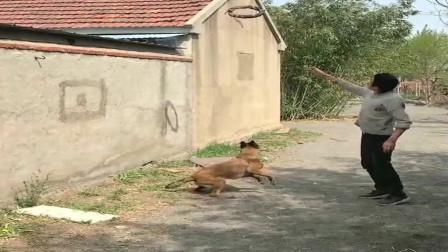 都说狗急了会跳墙,这次我是真相信了!