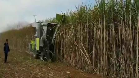 甘蔗收割机,在云南进行甘蔗收割,作业速度不慢!科技改变生活!