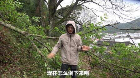 金洋兄弟:小时候种的李子树,长大后却被大风吹倒了