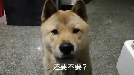 超级贪吃的中华田园犬,主人故意用烤肉诱惑它,急得都要开口说话了!