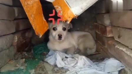 警醒的流浪中华田园犬,刚一靠近它的窝,就发出这样的声音!