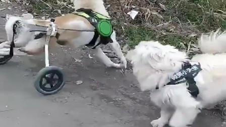 这只土狗厉害了,如果后腿没瘸,估计它都能飞!
