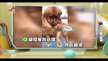 家庭幽默录像:催婚版《野子》,狗狗们精彩演绎单身狗被催婚的全过程,现实