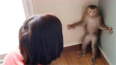 """猴子不满被训斥,直接和女主人""""顶嘴"""",镜头记录搞笑画面"""