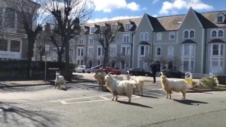 """因疫情封城后 威尔士小镇被山羊""""占领"""""""