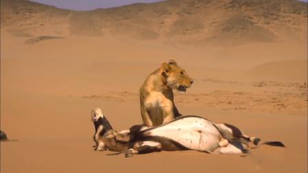 自然界最顽强的狮子,目前仅存100多只,性别比例严重失衡