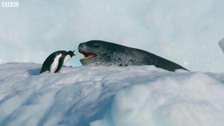 海豹追捕企鹅,惊险一幕,企鹅上演花样逃命!