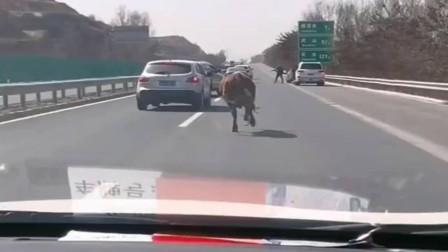 谁家的牛跑高速上了,说变道就变道,路过的司机心好慌!