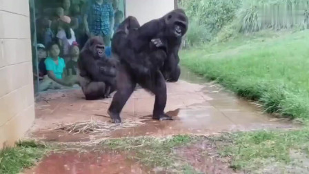 这么大的雨还怎么回去啊,可能这群猩猩,真的要进化了!