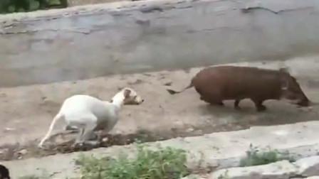 这些狗子还真是大胆,二师兄都什么身价了,还敢追着屁股打?