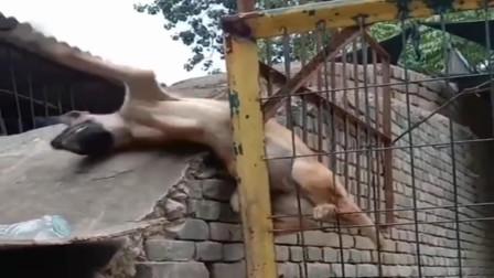 终于知道狗狗是怎么出来的了,不是笼子不结实,是你跳的太高了