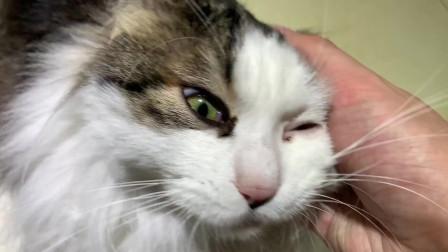 应粉丝私信要求,我下班回家就开始撸猫啦