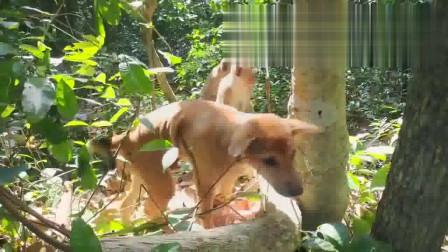 泰国小黄狗新交了动物朋友猴子兄弟,玩得不亦乐乎!