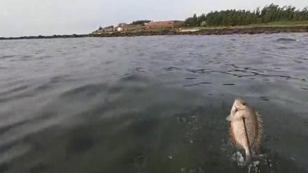 敢去时潜水抓鱼,最后抓到了巨石斑