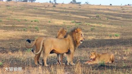 身材瘦小的狮子挑衅2头雄狮,胆子不小,下场那叫一个惨