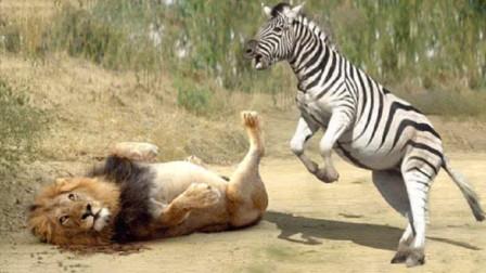 狮子吃了一辈子的马肉,万万没想到,这次竟然载到斑马的手里