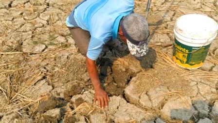 干裂的水田,农村大爷沿着裂缝开挖,看看他挖到了啥?