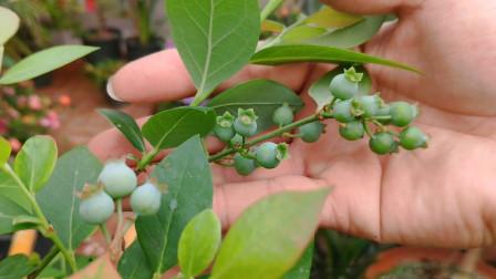 果树只要选对品种,盆栽的蓝莓、樱桃、软枣猕猴桃都能单株挂果