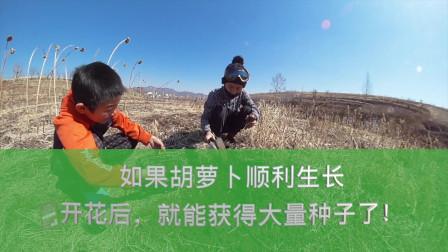 自留种子:带韩高峰一起种胡萝卜,开花后就能收获很多种子了!