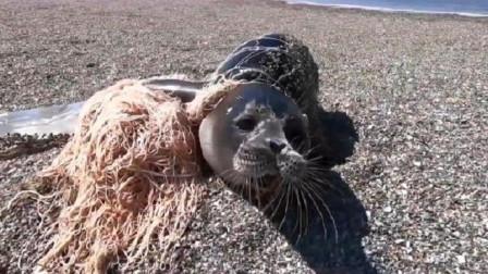 小海豹被绳子缠绕多年,当救援人员帮它打开后,画面让人泪目