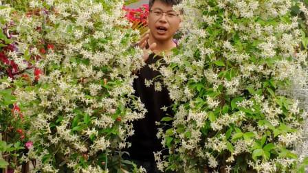 风车茉莉开成了花柱,它是南方北方都能种的藤本花卉,新手也能养成花墙