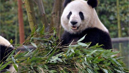 全球第一只被退回的熊猫年花费超360万