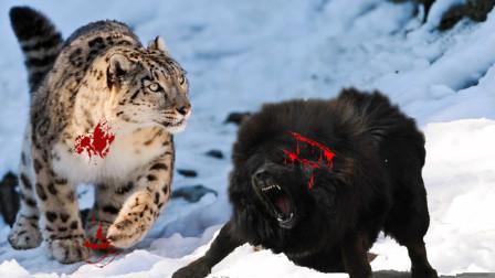 雪豹下山捕食,村里的藏獒能防得住吗?至少需要几头?