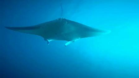 纽约小伙惊喜捕拍,魔鬼鱼海洋中的王者,镜头记下全过程!