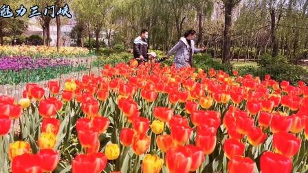 洛阳郁金香牡丹园。中原唯一欧式风格郁金香牡丹观赏园,种植郁金香100余种,100余万株,牡丹300亩。