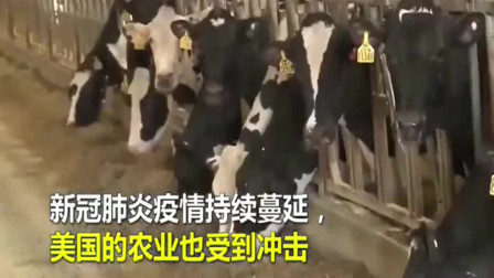 受疫情影响,牛奶无法及时销售,美国奶农倾倒大量牛奶!
