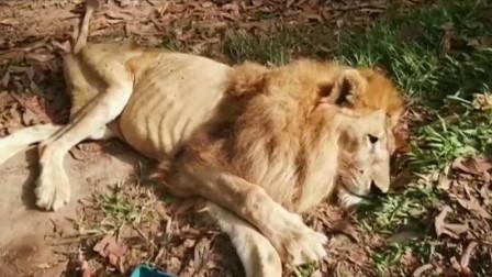 狮子被人虐待,瘦成皮包骨,获救后做出让人不敢相信的事
