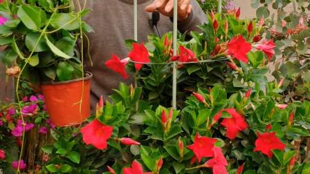 四季开花的飘香藤,为什么不爬藤?选择品种很关键