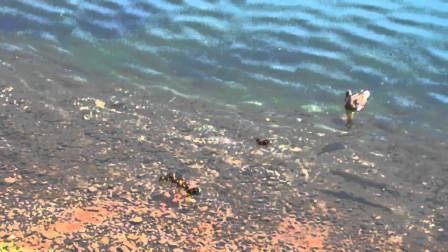 鲨鱼把小鸭子抓走,鸭妈妈看到后发疯似的追赶,镜头拍下全过程