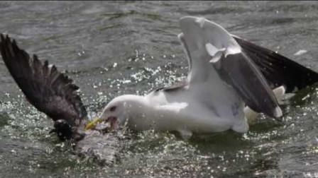 小鸭子被海鸥生吞,鸭妈妈暴跳如雷,下一秒海鸥被活活淹死