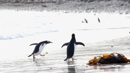 几只企鹅在岸边休息,突然一个海浪过来,下一秒忍住别笑