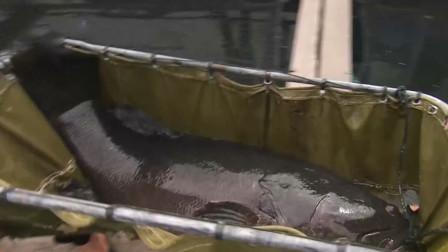 一米长、牙锋利、凶猛攻击摄像机,这种大鱼为何一条就卖5000块?