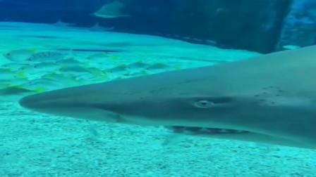 真佩服潜水员的胆量,这么近距离的拍摄大白鲨,看着都让人害怕