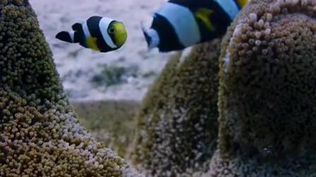 在纽约海底拍到这一幕,小丑鱼与地毯海葵的亲密关系,海底清洁工?