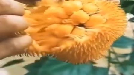 稀有热带水果:榴莲蜜 你见过没! 产自泰国、越南、缅甸等地