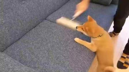 狗子:我的毛啊!不要再打扫啦,我的毛都快没了