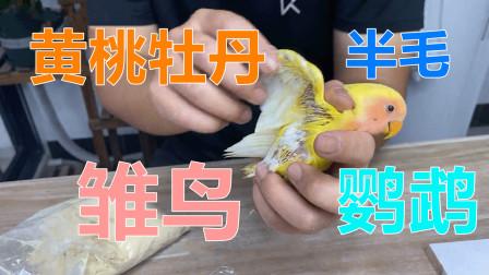 开箱30多天的黄桃牡丹鹦鹉,毛还没长齐,很好动到处乱跑